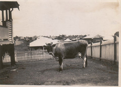 19401012 Sally the Cow at 1 WaverleyRd-Camp Hill (John Englart (Takver)) Tags: brisbane englart cow camphill