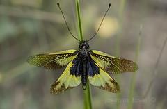 libelloides coccajus (Josep M.Toset) Tags: animalia arthropoda ascalaphidae ascalaphinae baixcamp bosc cam catalunya insectes josepmtoset neuroptera nikon libelloides macro