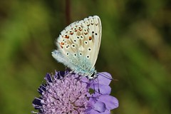 Bluling (Hugo von Schreck) Tags: macro butterfly insect outdoor ngc makro insekt schmetterling greatphotographers onlythebestofnature tamron28300mmf3563divcpzda010 canoneos5dsr hugovonschreck