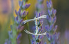 La vIe (S@ndrine Néel) Tags: closeup butterfly insect moth lavender papillon lavande insecte papillondenuit ptérophore néelsandrine