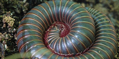 Millipede Macro (phl_with_a_camera1) Tags: macro animal insect michigan wildlife millipede herping