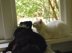 Batman leaning in for a nose kiss (rootcrop54) Tags: cats white male window cat chat sweet longhair charlie tuxedo kitteh batman lounging  macska gatto katzen kot koka kedi katt kissa kttur maka kucing  allwhite   kat  maek kais gorbe