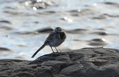 Cute little wagtail (KaarinaT) Tags: wagtail vstrkki vuosaari finland suomi ruffledfeathers bokeh sea water rock waves