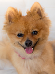Happy. . . Boo the Pomeranian. . . (CWhatPhotos) Tags: photographs photograph pics pictures pic picture image images foto fotos photography artistic cwhatphotos that have which with contain mark 2 omd em10 mk ii olympus esystem four thirds digital camera lens m43 animal pet cute portrait brown sandy coloured colored dog boo pom pomeranian zwergspitz dwarfspitz dwarf spitz pompom thelittledoglaughedportraits
