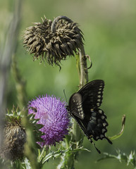 Butterfly_SAF1308 (sara97) Tags: butterfly copyright2016saraannefinke flyinginsect insect loneelkpark missouri nature outdoors photobysaraannefinke pollinator saintlouis