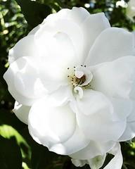 (autumnal_hedge) Tags: whiterose rose roses rosegarden internationaltestgarden pdx washingtonpark portland oregon