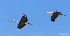 Fly By (fhopper14) Tags: cranes sandhillcranes waterbird wadingbird