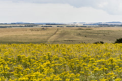 Ragwort Madness (stevedewey2000) Tags: salisburyplain wiltshire landscape wildflowers flowers ragwort yellow kenko 14xtc sony70300g sptacentre