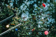 Enjoying Summer (freyavev) Tags: enjoyingsummer summer green bokeh rose redrose depthoffield 50mm niftyfifty biergarten light lightbulbs bulbs colorfulbulbs stuttgart badenwrttemberg goldmarks beergarden germany deutschland