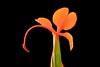 Shall We Dance? (Aurora Santiago Photography) Tags: gingerlily hedychiumtara gingerflower orange flower summer