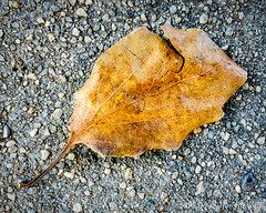219366  07 August 2016  dry leaf on concrete (Doug Churchill) Tags: 365 366 sonyrx100m3 alone arid cement closeup closeups concrete dead death deaths dry foliage highangleview highangleviews highcontrast leaf leaflet loneliness lonely macro macromondays macros melancholy project project366 sad sadness