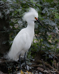 Snowy Egret (Alfred J. Lockwood Photography) Tags: alfredjlockwood nature wildlife bird egret snowyegret male rookery dallas texas spring morning overcast