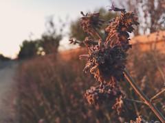 Reds (manofmanyframes) Tags: lancaster cityoflancaster california lancasterca av antelopevalley desert desertlife desertphotography desertvibes flower flowers goldenhour golden sunset sundown warmtones vscocam vsco vscogood