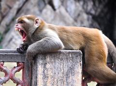 Yawning at Monkey Temple (PiccolaSayuri) Tags: monkeytemple monkey jaipur india rajasthan haryana uttarpradesh madhyapradesh delhi mandawa bikaner jaisalmer jodhpur udaipur agra fathpursikri gwalior orchha khajuraho varanasi incredibleindia hindu temples forts colours people faces