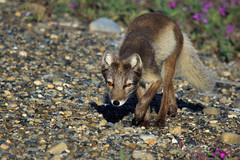 On the Prowl (in explore, thank you all who looked) (blkwolf1017) Tags: arcticfox fox deadhorse prudhoebay alaska hunting canon50d sigma150500mm