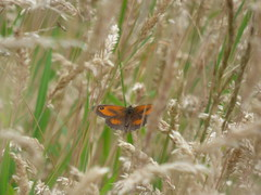x P2490580c GateKeeper .. (Erniebobble::) Tags: erniebobble 2016 nature newforest wildlifegarden wildlife balance butterfly lepidotera wings ephemeral edge environment climate delicate feeding colours chrispackham bct fleeting meadow restful reflection tranquil metamorphosis transient transitory painting pattern passage art floating flower garden gentle peaceful portrait resting suspended surface summer hues biodiversity ecosystem weather study stilllife secretworld unseen unsprung glimpse soft subdued muted season springwatch textural symbiosis pollination nectar antennae illuminating imagination inspiring education learning flight alight above harmonious happy smile