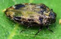 5.2 mm metallic wood-boring beetle (ophis) Tags: coleoptera polyphaga elateriformia buprestoidea buprestidae agrilinae tracheini brachys brachysovatus metallicwoodboringbeetle