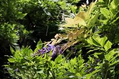 Late blooming wisteria (CarolAnn Photos) Tags: 2016 august banbury eosm whitelionwalk flora flower wisteria