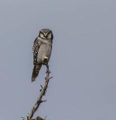 Northern Hawk Owl (Khanh B. Tran) Tags: