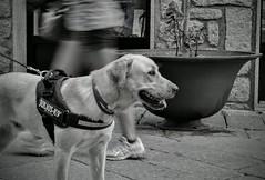 Walking the dog. (giuseppemontalto) Tags: walkingthedog mydog ilmiocane blackandwhite biancoenero labrador towalk longexposure lungaesposizione