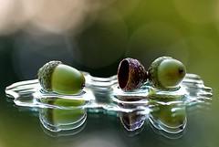wet acorns (HansHolt) Tags: acorn oaknut nut eikel bellota gland eichel cupule dop fall autumn herfst green groen water reflection reflectie backlight tegenlicht bokeh dof macro canon 6d canoneos6d canonef100mmf28macrousm macromondays inthemirror hmm