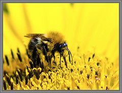 Bij op zonnebloem (Erik v Hassel) Tags: ngc macro yellow flower close up haps erikhaps nikon d5100 nederland holland dutch beautiful fraai excellent flickr view splendid beauty best wonderful fantastic awesome stunning incredible magic nice perfect photo image shot foto lovely bee bij geel sunflower