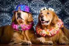 Golden Peace (bztraining) Tags: dogchal henry odc zachary bzdogs bztraining golden retriever 3662016