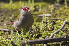 Red-browed Finch 2016-09-23 (60D_3453) (ajhaysom) Tags: redbrowedfinch redbrowedfiretail neochmiatemporalis woodlandshistoricpark greenvale melbourne australia australianbirds canoneos60d sigma150600