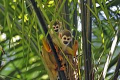 Anglų lietuvių žodynas. Žodis squirrel-monkey reiškia voverė-beždžionė lietuviškai.
