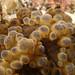 Bubbles - Dendrodoris gunnamatta