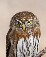 Northern Pygmy Owl  3827 (Bonnieg2010) Tags: northernpygmyowl pygmyowl owl birdofprey wild nature avian bird calgary alberta bonniegrzesiak fishcreekprovincialpark shannonterrace ngc