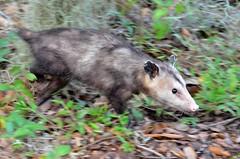 F7K_6142 (68photobug) Tags: 68photobug nikon d7000 nikkor 28300mm usa centralflorida polkcounty lakeland circlebbar reserve preserve refuge park marsh sanctuary wetlands pinescrub nature naturecenter discoverycenter environmentalcenter wildlifemanagement alligatoralley marsupial mammal opossum