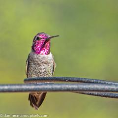 Hummingbird (Kukui Photography) Tags: canyon ranch arizona bird hdr saguaro sunrise tucson canyonranch