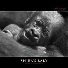 SHIRA'S BABY (Matthias Besant) Tags: affe affen affenblick affenfell animal animals ape apes fell hominidae hominoidea mammal mammals menschenaffen menschenartig menschenartige monkey monkeys primat primaten saeugetier saeugetiere tier tiere trockennasenaffe primates querformat gorilla baby zoo zoofrankfurt shira mother mutter matthiasbesant hessen deutschland