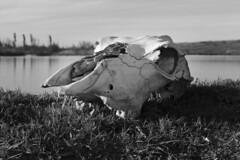 (Oscar Mourio) Tags: calavera huesos bones vaca cow