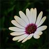 African Daisy (Nightgoose) Tags: asteraceae flor flower fujifilmxt1 fujinonxf100400mmf4556rlmoiswr fujifilmmcex16 captureone exposurex2 margaridadocabo osteospermumecklonis africandaisy capemarigold