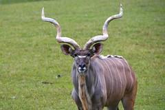 Greater kudu (Tragelaphus strepsiceros) (ucumari photography) Tags: ucumariphotography metrorichmondzoo richmond virginia va october 2016 greaterkudu tragelaphusstrepsiceros animal mammal hoofstock dsc4552 specanimal