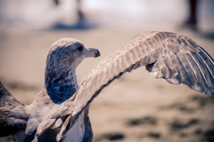 Seagulls of Santa Monica (James Billson) Tags: birds nature animals seagulls beach seaside creatures feathered santamonica california losangeles canon 60d travel