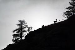 ART_5477m (MILESI FEDERICO) Tags: milesi milesifederico minimal montagna montagne mammifero wild wildlife autunno automne italia italy iamnikon inmontagna alpi altavallesusa alpicozie altavaldisusa visitpiedmont valdisusa valsusa valledisusa valliolimpiche piemonte piedmont silhouette silouette sagoma sagome cesana cesanatorinese cervo tramonto travel sunset nikon nikond7100 nital natura nature d7100 dettagli dettaglio controluce contrasto bianconero bw biancoenero europa europe flickr fauna