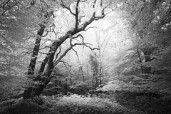 Epping Forest 22/10/16 (Matthew Dartford) Tags: infraredphotography bw blackandwhite bokeh epping eppingforest forest infrared ir london mono monochrome silhouette tree trees wood