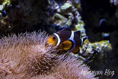 Amphiprion ocellaris (AquariumBlog.es) Tags: acuario aquarium peces fish pez marino saltwater water freshwater dulce agua corales payaso clown sepia acantharus pterois pomacanthus barcelona arrecife reef