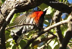 Painted Redstart (Michael Woodruff) Tags: california painted redstart pictus paintedredstart myioboruspictus myioborus