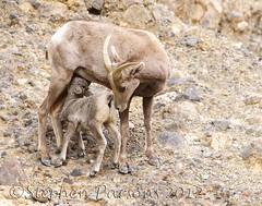 Aww Gee Mom (Wandering Sagebrush) Tags: lamb bighornsheep ewe deathvalleynationalpark oviscanadensisnelsoni bighorndsc6707