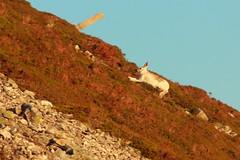 Run Hare Run (blootoonloon1( No to Badger Cull)) Tags: winter nature animals scotland highlands hare glenshee wildlife