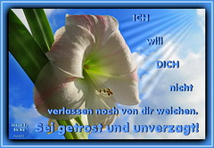 Sei getrost und unverzagt 1 / Be strong and courageous 1 (Martin Volpert) Tags: flower fleur christ god blossom faith flor blossoms pflanze blumen lord amaryllis bible blomma christianity blume bibbia fiore blte herr blomst scripture virg scriptures lore biblia bloem gott blm iek floro kwiat flos holyspirit ciuri bijbel kvet kukka cvijet flouer glauben christentum bibleverses blth jesuschristus heiligergeist cvet zieds is ritterstern floare blome iedas bibelverskarte mavo43 lovetruth