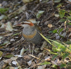 Buff-banded Rail (stevewebster1) Tags: australia bords scottshead