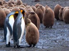 King Penguins (D-Stanley) Tags: island penguins king southgeorgia salisburyplain