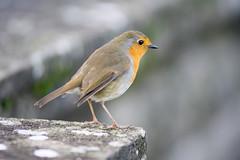 Robin on the bridge