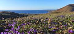 Lanzarote (denismartin) Tags: panorama flower island lanzarote atlantic canaries islascanarias volcan canari volcanology canaryisland houellebecq macaronesia playaquemada denismartin