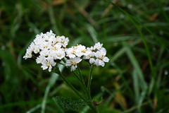 White Watery Flowers (ellie_bethany) Tags: flowers white mist canada france cold flower water grass yellow fog french droplets petals drops stem canadian petal dew ww1 pollen beaumont trenches hamel